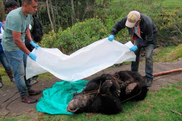 Disecarán a oso andino tiroteado en Fómeque y lo exhibirán para ... - Noticias Caracol