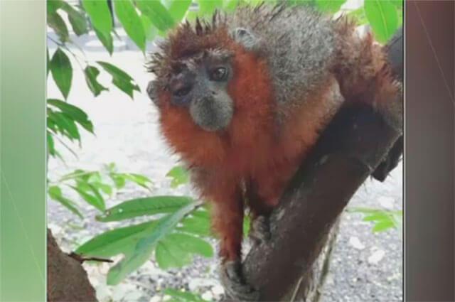 Murió mono tití atacado a piedra en Villavicencio - Noticias Caracol