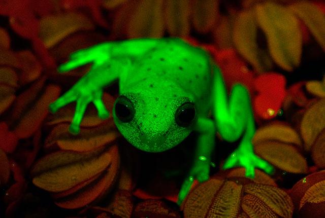 اكتشاف مدهش: ضفادع خضراء مضيئة